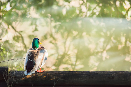 pato real: Male mallard duck