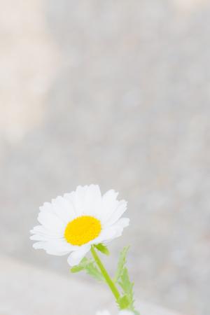 marguerites: Marguerites