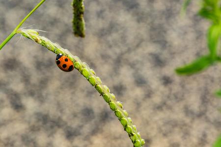 spot: Seven spot ladybird