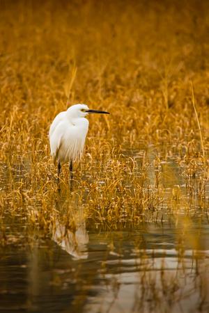 wetland: Heron