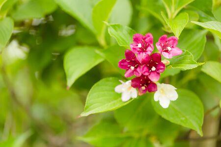 japonica: Buddleja japonica Stock Photo