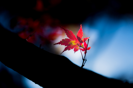 Red leaves of Japanese maple tree