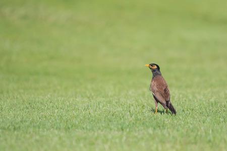 common myna bird: Common myna