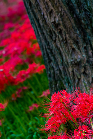spider lily: Red spider lily