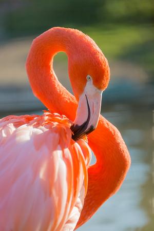 Pink Caribbean flamingo Stock Photo