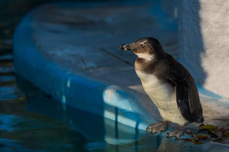 flightless: Cape penguin