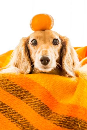 Dachshund with orange above her head 写真素材