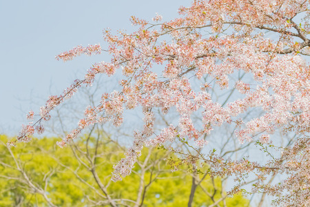 Cherry blossom in Japan Stock Photo