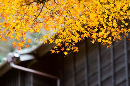 japanese maple tree in autumn Standard-Bild
