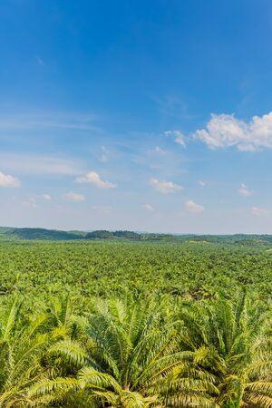 palm oil plantation in malaysia 写真素材