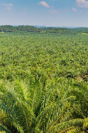 palm oil plantation in malaysia Stok Fotoğraf - 132116618
