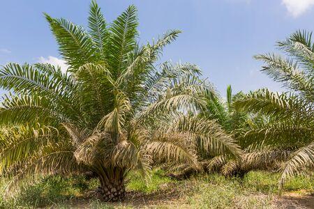 palm oil plantation in malaysia Stok Fotoğraf - 132116248