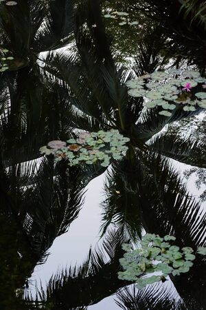 palm tree with reflection on pond 写真素材