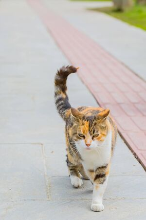 three colored cat walking in street