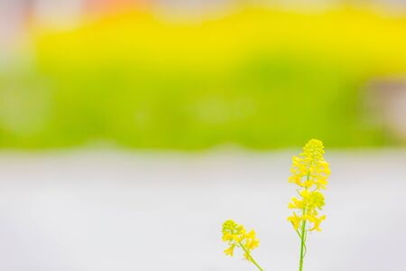 yellow rape flower field at street 写真素材