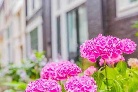beautiful purple hydrangea flower in garden Zdjęcie Seryjne - 132116950
