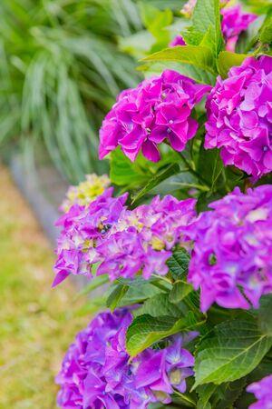 beautiful purple hydrangea flower in garden Zdjęcie Seryjne - 132116770