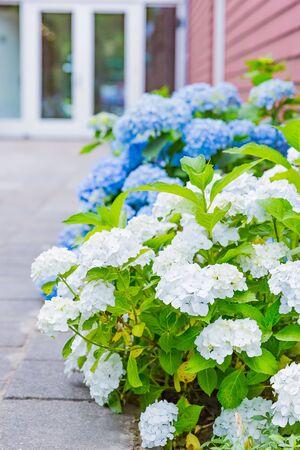 beautiful blue and white hydrangea flower Zdjęcie Seryjne - 132119119