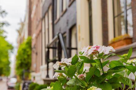 beautiful pink hydrangea flower in garden Zdjęcie Seryjne - 132117696