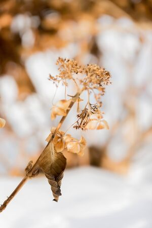 beautiful withered hydrangea flower in garden