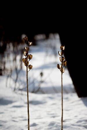 beautiful withered green lily in garden Zdjęcie Seryjne - 132118760