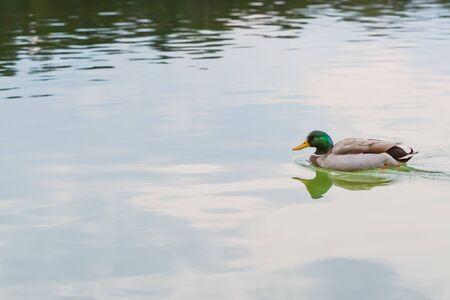 male mallard duck floating at pond