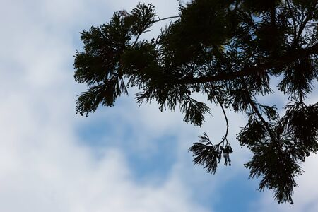 japanese cypress with blue sky and clouds 写真素材