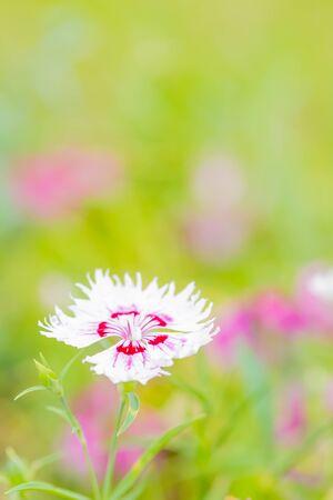 white flower dianthus in garden