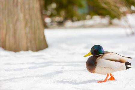 male mallard duck walking on snow