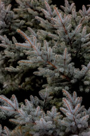 leaves of green spruce in park