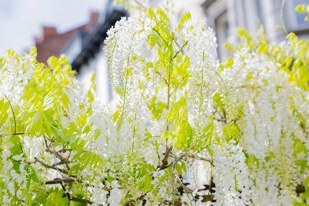 white flowers of japanese wisteria 写真素材