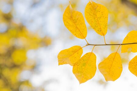 yellow leaves of tree in autumn 写真素材