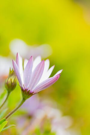whie and purple flower, daisy