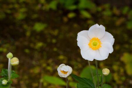 aleutian avens, white flower in garden