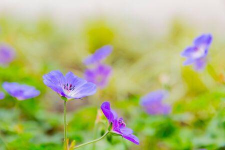 nemophila, purple flower in garden