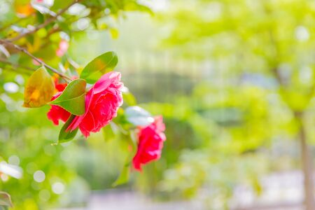 red flower rose in garden 写真素材