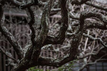 withered branch of  camellia japnica Zdjęcie Seryjne