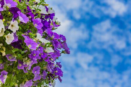 petunia, purple flower hanging in pot