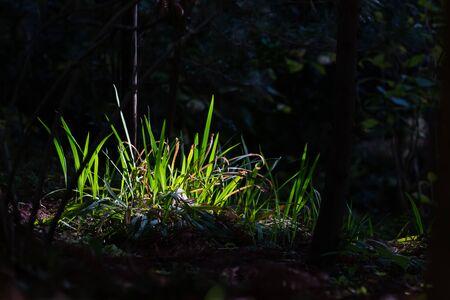 green leaves of iris in garden