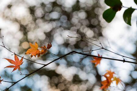 japanese maple tree in autumn Zdjęcie Seryjne