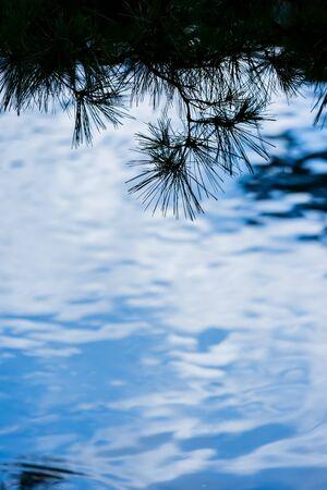 leaves of pine reflecting on surface of water Zdjęcie Seryjne