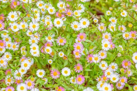 small flowers of chrysanthemum in garden