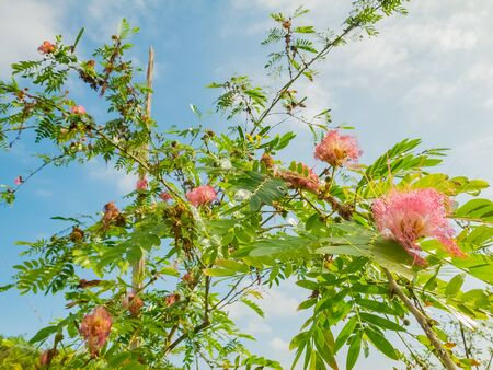 pink flower of mimoza with blue sky