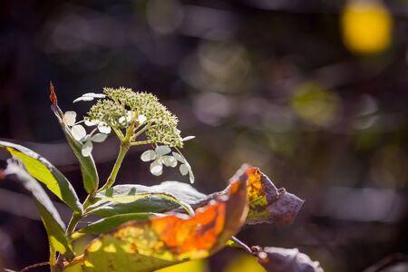 beautiful withered hydrangea flower in garden