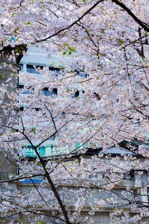 Cherry blossom at bank of Japan