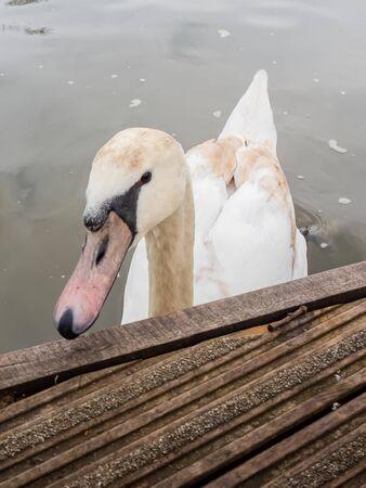 white swan swimming in pond Zdjęcie Seryjne