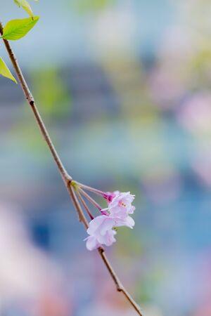 Cherry blossom in Japan Zdjęcie Seryjne