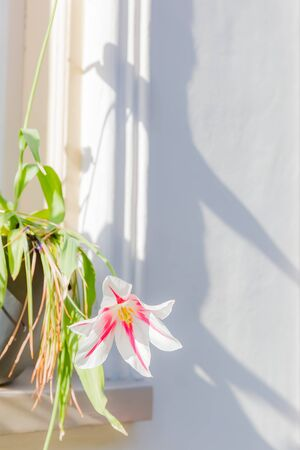 pink and white lily flower in pot