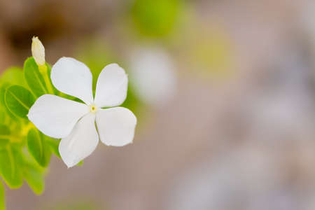 madagascar periwinkle, white flower in garden