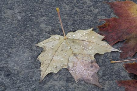 Maple leaf. Stok Fotoğraf - 96453395